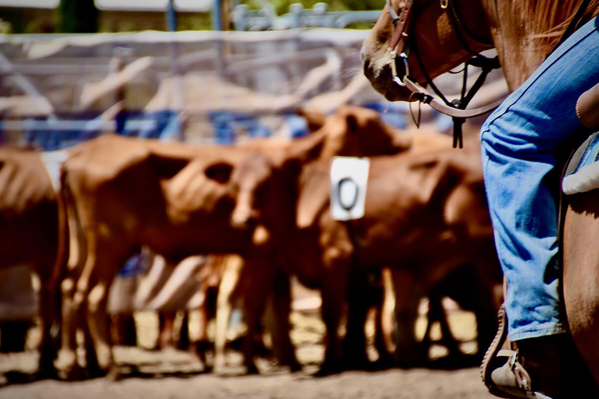 Western Australian Team Penning Association ranch sorting
